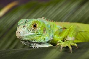 Eidechse - Leguan foto