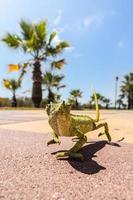 jugendliches Chamäleon auf einer Promenade in Andalusien, Spanien