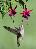 Kolibri im Flug mit seinem Schnabel, der eine Blume stößt