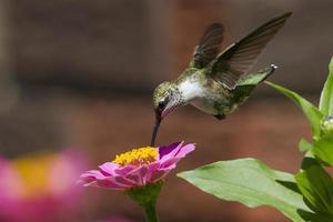 Kolibri füttern foto