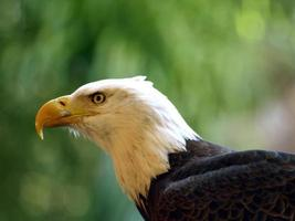 amerikanischer Weißkopfseeadler foto