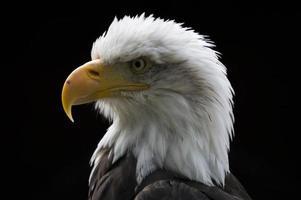 Weißkopfseeadler foto