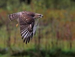 fliegender breitflügeliger Falke foto