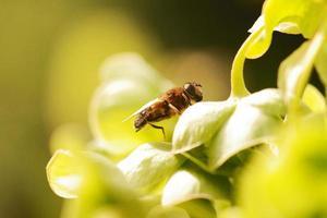 Schwebfliege auf Pflanze foto