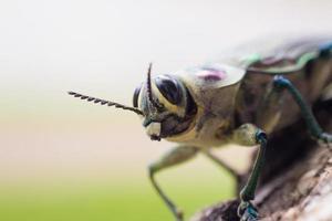 brasilianisches Insekt foto