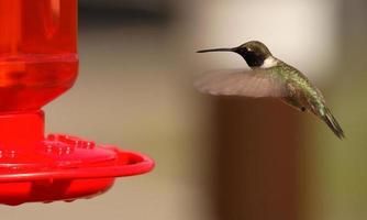 Kolibri fliegen und füttern foto