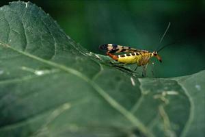 Panorpidae auf einem grünen Blatt foto