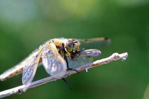 Libelle frisst eine Mücke