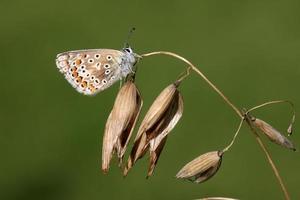 gewöhnlicher blauer Schmetterling, polyommatus icarus foto