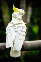 Kakadu mit Schwefelhaube thront auf einem Zaun