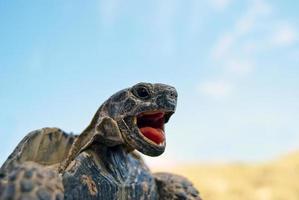 schreiende Schildkröte foto