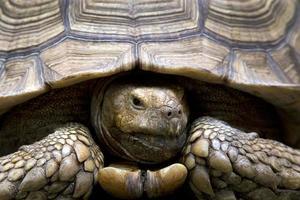 Vorderkopf der großen alten Schildkröte