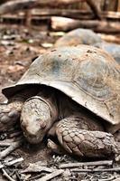 kriechende Schildkröte