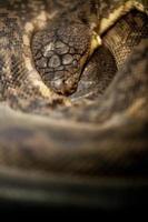 Königskobra foto