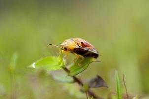 Marienkäfer in der Natur foto