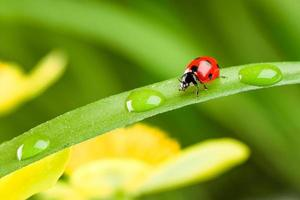 roter Marienkäfer auf grünem Gras foto