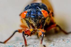 Nahaufnahme der Zikade