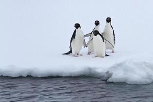 Eine Gruppe von Adeliepinguinen steht am Rand des Eises