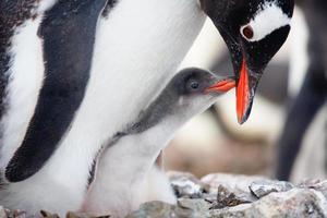 Der vernarrte Mutterpinguin bekommt Knabbereien vom Baby