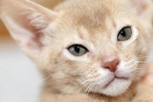 abessinisches Kätzchen. Farbkitz foto