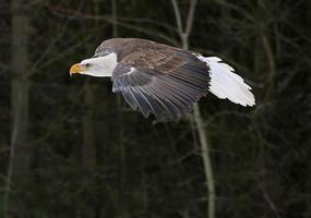 gleitender Weißkopfseeadler foto