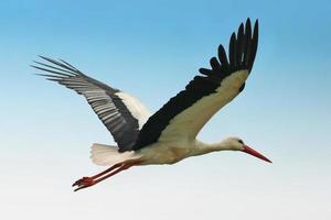 Storch mit Flügeln breitete sich mitten im Flug aus foto