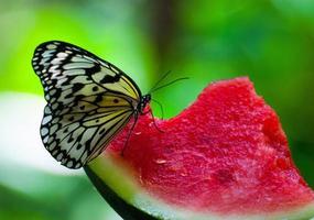 Der Schmetterling trinkt Wasser aus einem Stück Wassermelone
