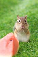 Streifenhörnchen auf grünem Gras