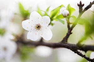 schöner frühlingsblühender Pflaumenbaum foto