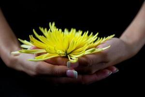 Vorderansicht der Frau, die gelbe Chrysantheme hält foto