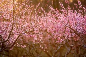 Pfirsichbäume in voller Blüte bei Sonnenuntergang