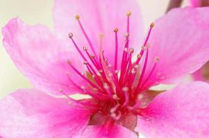 die Pfirsichblüte foto