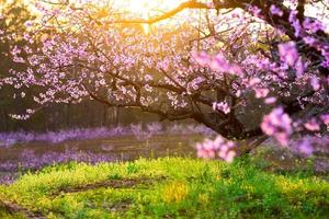 Pfirsichblüte, grünes Gras mit Sonnenschein