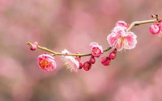 Blumen in der Frühlingsserie: Pflaume blüht im Frühling foto