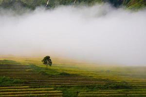 terrassiertes Reisfeld in der Reissaison in Vietnam