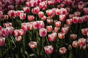 Mischung aus roten und weißen Tulpen foto