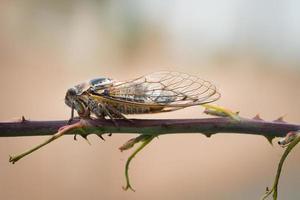 Nahaufnahme Makroaufnahme der braunen Zikade auf Zweig foto
