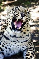 knurrender Leopard mit riesigen Zähnen foto