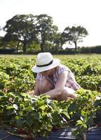 Frau, die Erdbeeren in einem Feld pflückt
