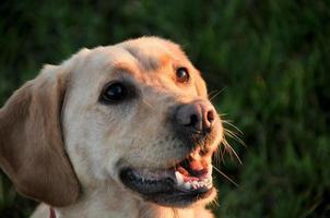 Labrador Retriever foto