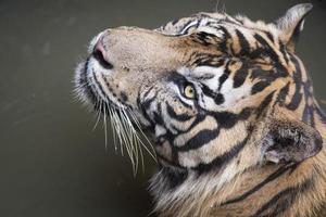 endemische Katze von Sumatra foto