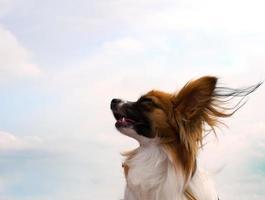 Papillon Hund foto