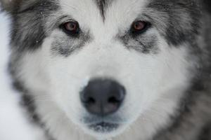 Alaskan Malamute Schnauze foto