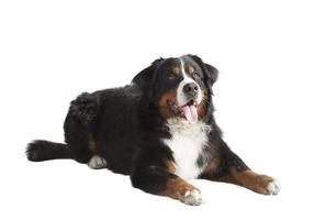 Berner Sennenhund liegend foto