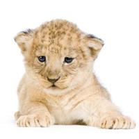 gelbes Löwenjunges, das auf einem weißen Hintergrund niederlegt foto