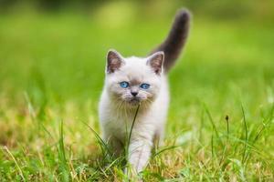 süßes kleines siamesisches Kätzchen, das auf dem Gras geht foto