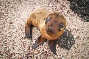 Baby Seelöwe auf den Galapagosinseln starrt dich an foto