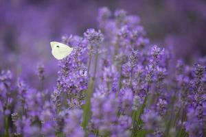 großer weißer Schmetterling auf einer Lavendelpflanze. foto