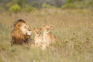 junge Löwenbabys und Vater foto