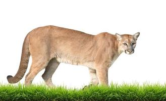Puma isoliert foto